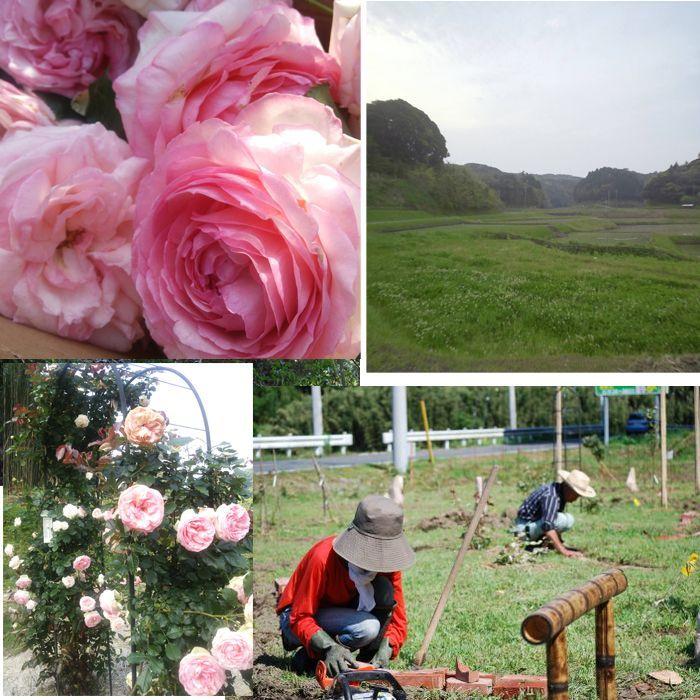 お茶やエイジングケアを意識したコスメなどの通販【株式会社バラの学校】 | バラと栽培風景